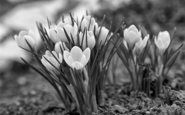 Чёрно-белые фото цветов