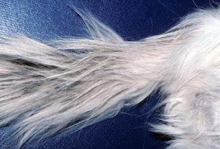 Penyakit Kulit Kucing Stud Tail