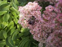 A honeybee on pink sedum