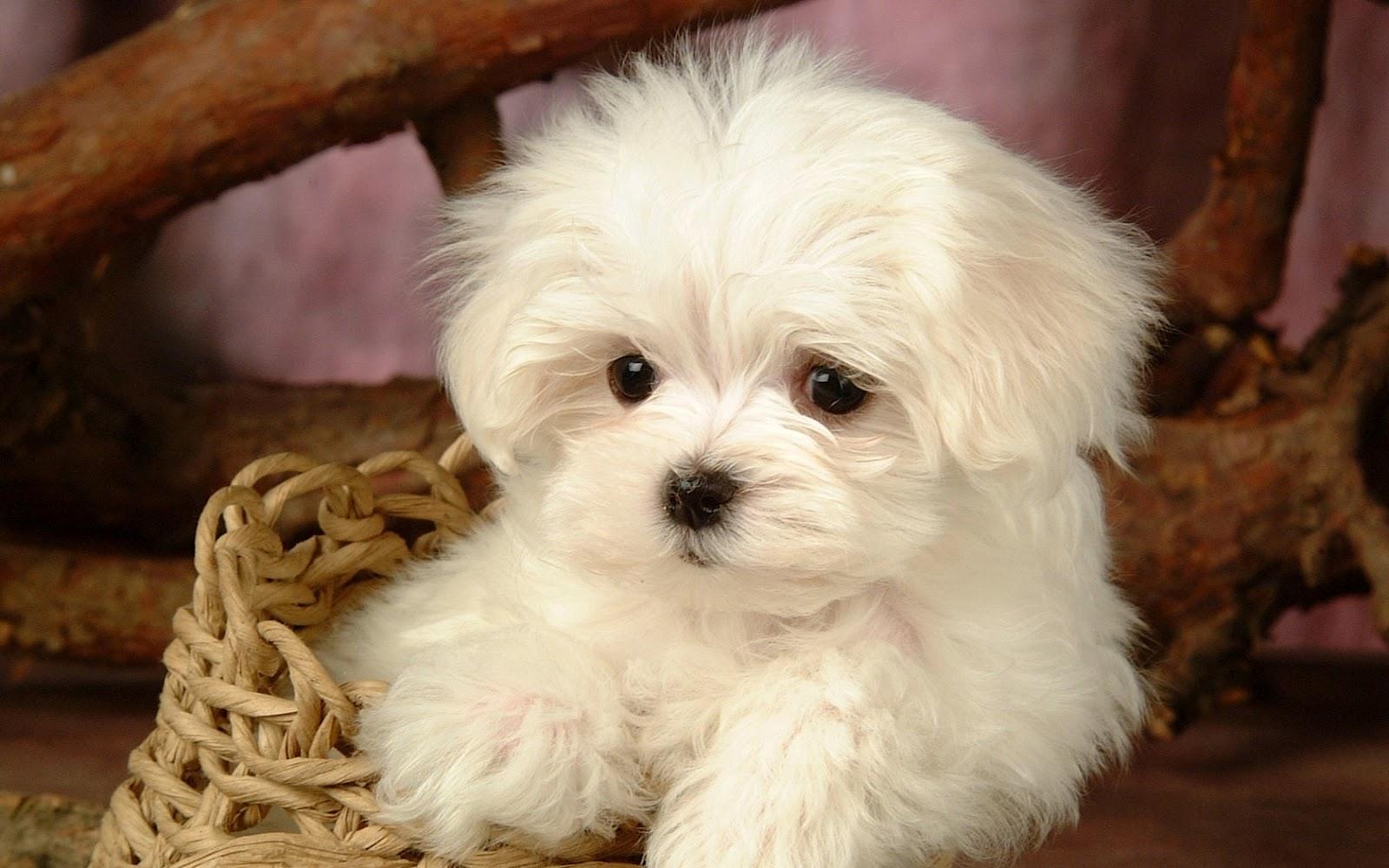 Cutecool Pets 4u Cute White Maltese Puppies