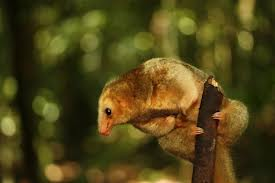 Silky Anteater picture