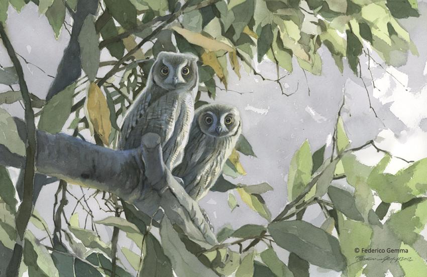 Scops Owls - © Federico Gemma