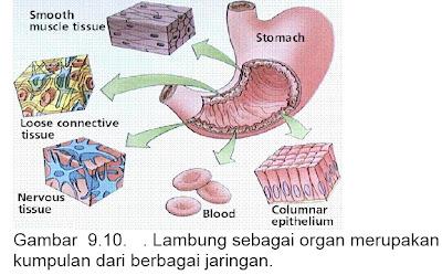 organ lambung