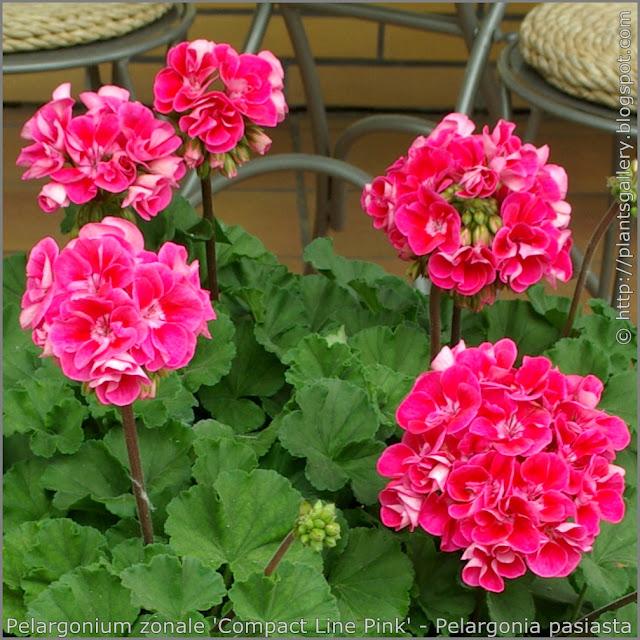 Pelargonium zonale 'Compact Line Pink' flowers - Pelargonia pasiasta  'Compact Line Pink' kwiaty