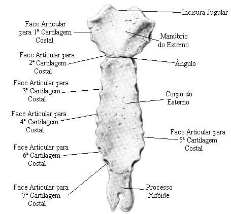 Osteologia do t rax e dos membros for Esterno e um osso irregular