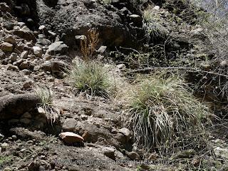 Hechtia montana habitat