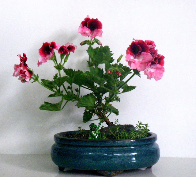Regal Pelargonium PJ Miranda bonsai