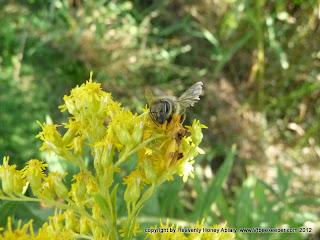 Dead honey bee on goldenrod