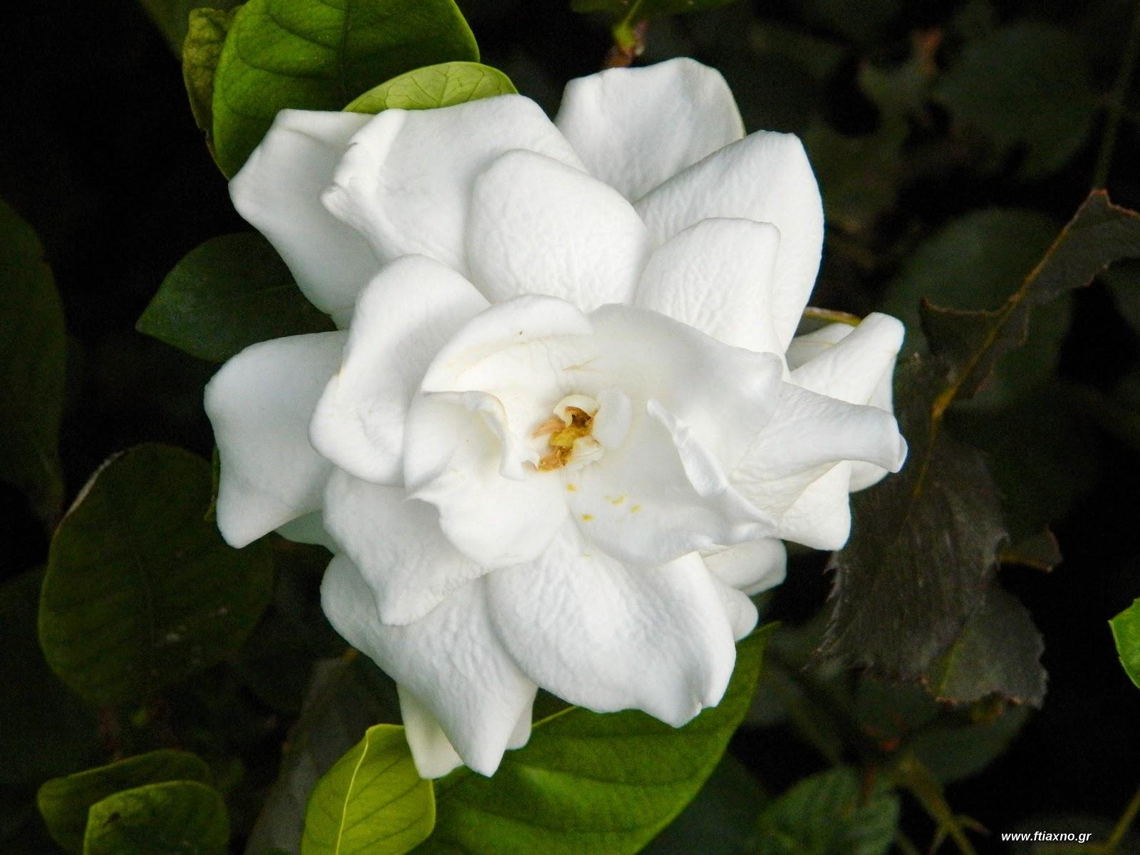 Θέλω μια φωτογραφία... - Σελίδα 6 Gardenia-kalliergia