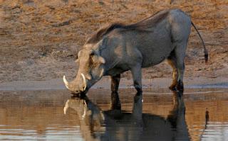 Warthog pic