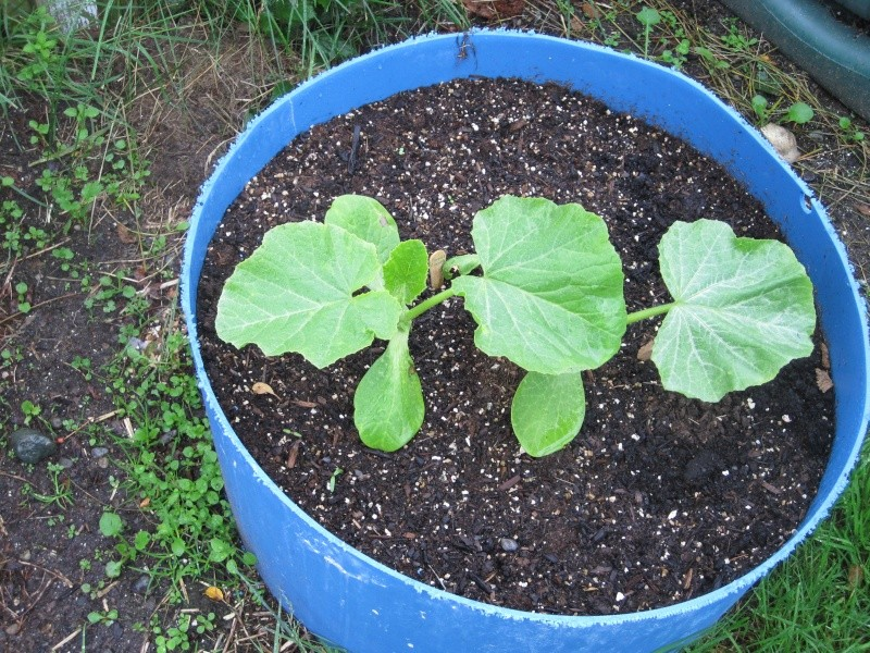 can you plant seeds from a pumpkin