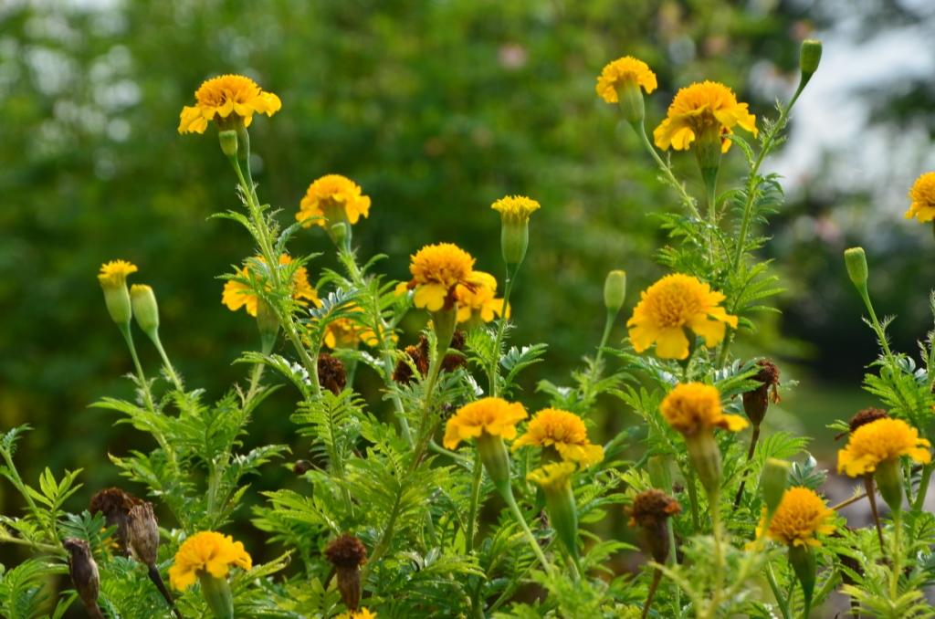 My Little Vegetable Garden Marigolds A Brief Moment