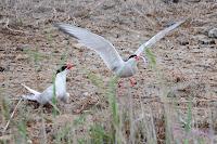 Charrán común (Sterna hirundo - Common Tern)