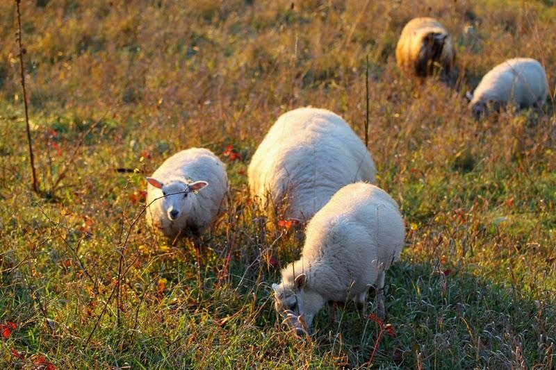 sheep at Litengård