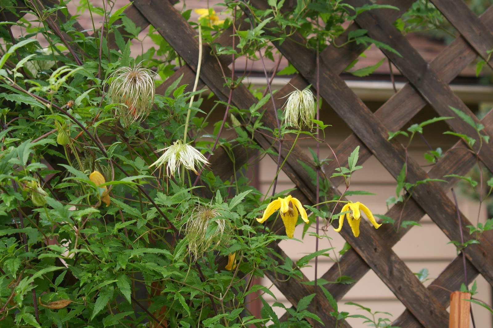 clematis tangutica clematis tangutica mature hardy 2 year. Black Bedroom Furniture Sets. Home Design Ideas