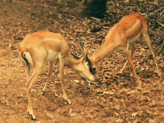 Two Black Buck Deer fighting