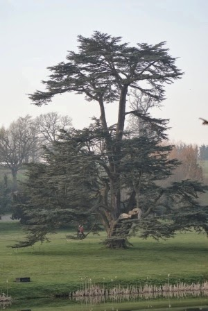 Cedar+tree-Compton+Verney-#CVGrounds