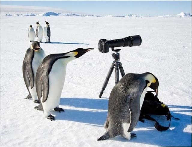 funny animal pictures, penguins and camera