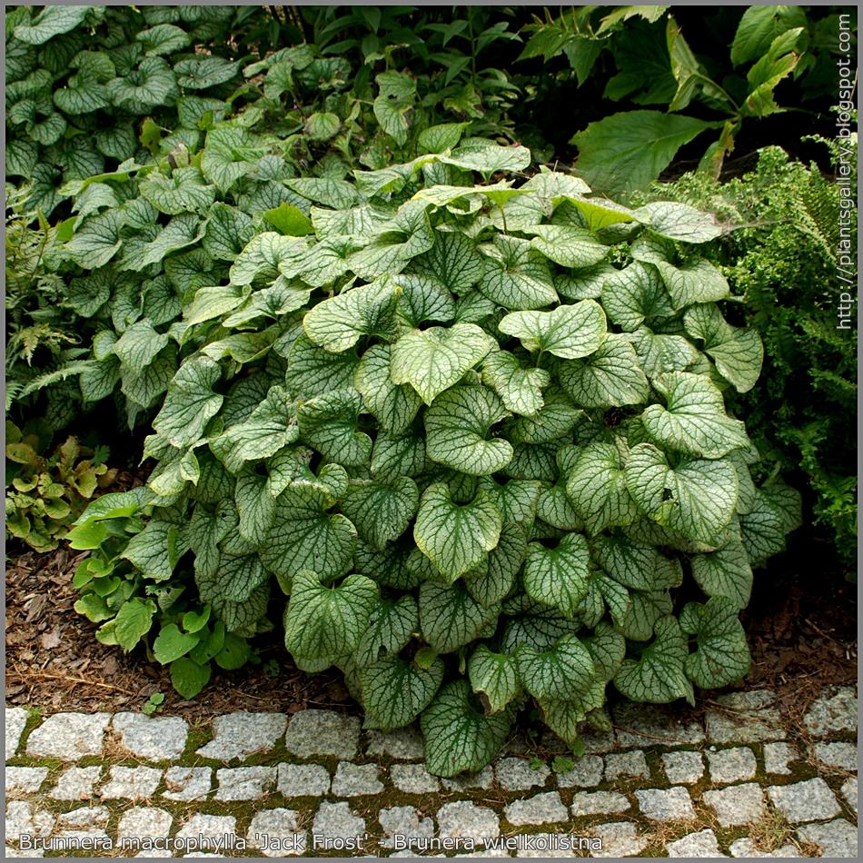 Brunnera macrophylla 'Jack Frost' - Brunera wielkolistna 'Jack Frost'