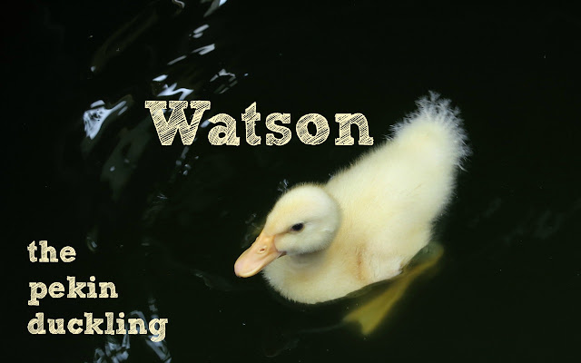 baby duck swimming