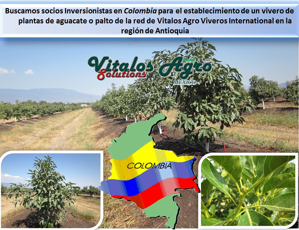 Viveros de aguacate hass y hass selecci n m ndez buscamos for Viveros forestales en colombia