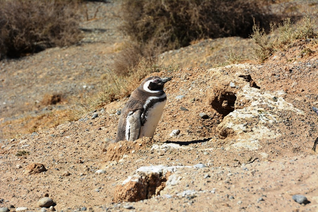 Peninsula Valdes Penguins