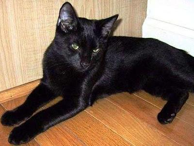 Mengenal Kucing Bombay