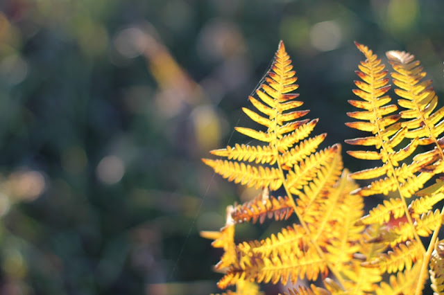 Fall-colored fern