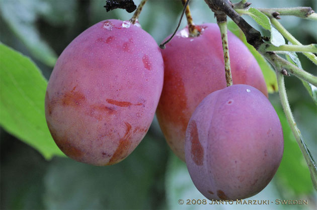 Image result for buah plum
