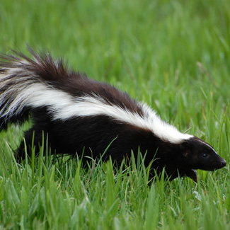 why do skunks have a strong smell facts about all. Black Bedroom Furniture Sets. Home Design Ideas