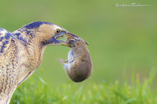 balaban kuşu
