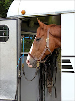 A pretty chestnut mare looks out of the horse trailer