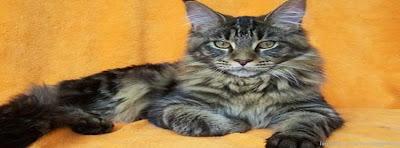 Couverture Facebook d'un magnifique chat