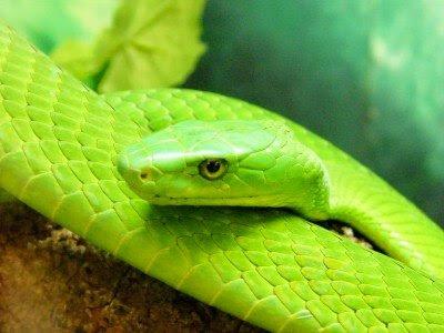 http://2.bp.blogspot.com/-qMZczPnMxZg/TsggdKq_YJI/AAAAAAAADmk/k1nyEVAoXIY/s400/Beautiful-amazing-Green-Mamba-snake.jpg