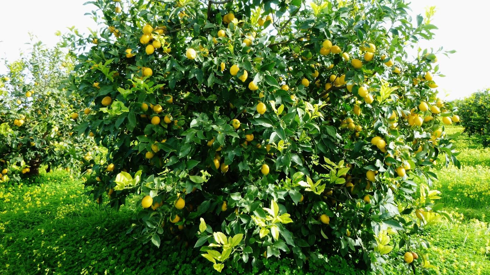 Agriculture consulting agronomist dell 39 agronomo vito for Pianta di limone