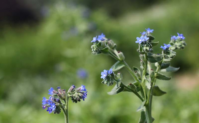 Anchusa Officinalis Flowers Pictures
