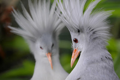 Kagu Bird Photos 5