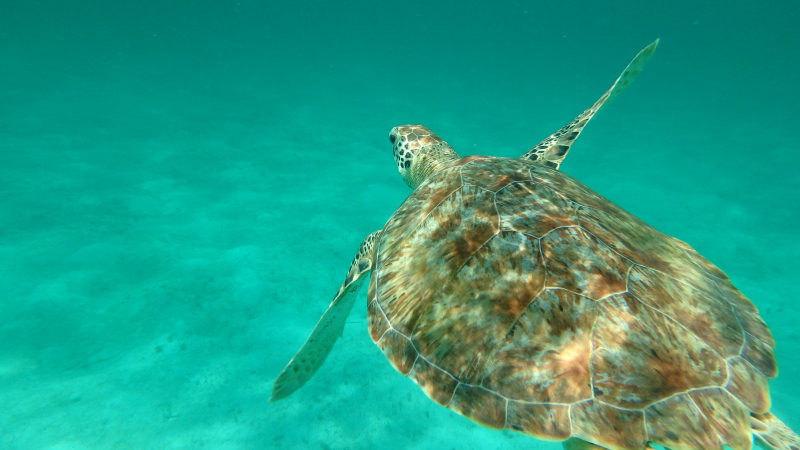 Swimming with turtles in the Tobago Cays Marine Park Caribbean