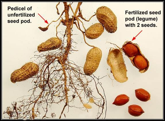 Mencermati Pertumbuhan Kacang Tanah