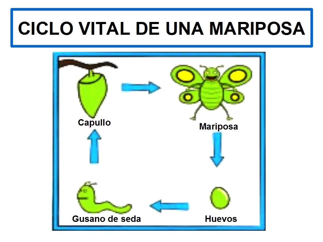 Ciclo De Vida De La Mariposa Para Colorear Imagui | apexwallpapers.com