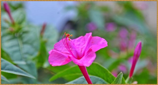Pink Flower, Pink Beauty, Flower,