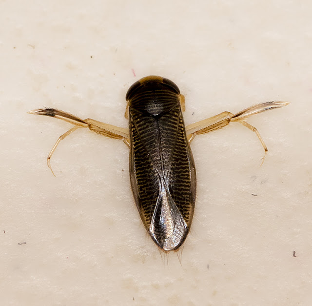 Water Boatman, probably a Callicorixa species.  Kelsey Park, 28 August 2015.