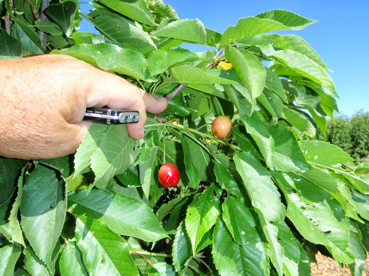 hispanic singles in cherry tree Gardens: pick of the cherries  a spreading tree laden with large, single,  you can extend your cherry's spell in the spotlight,.