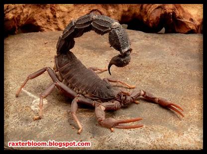 5 Kalajengking Paling Beracun yang Ada di Dunia - raxterbloom.blogspot.com