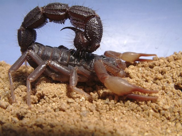 Fat-Tailed Scorpion | Dangerous Facts & Photographs | The Wildlife