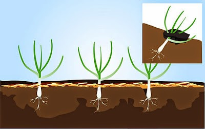 Como cosechar el ajo