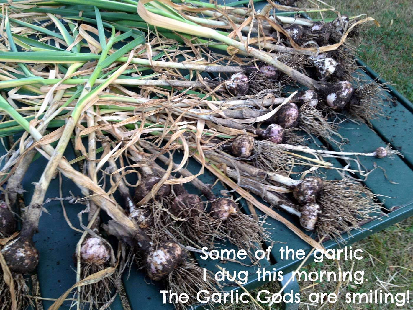 how to use fresh garlic from the garden