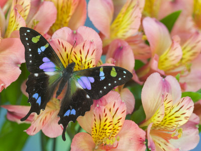 Purple spotted swallowtail - photo#16