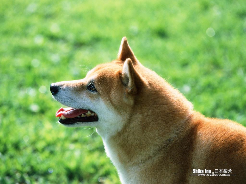 http://2.bp.blogspot.com/-qPy9MeVIO-M/Tg3yig4Wc3I/AAAAAAAAA_I/-ODIioqtLwk/s1600/Shiba_Inu_dog_wallpaper_EA39053.jpg