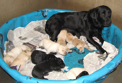 GDB black Labrador Retriever breeder mom Bettymae lying in a baby pool nursing her puppies